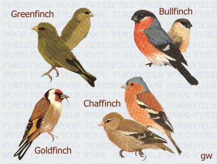 Black cap female poorly coloured in comparison unusual bird 15cm